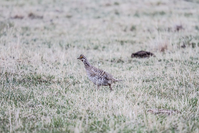 Sharp-tailed Grouse Theodore Roosevelt National Park Medora NDIMG_1165