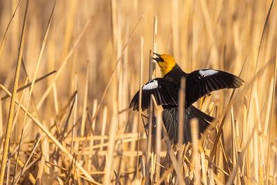 Yellow-headed Blackbird Chase Lake NWR Stutsman County ND  IMGC8189