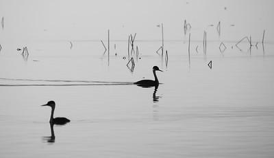 Western Grebe Horsehead Lake Kidder County ND  IMGC7574