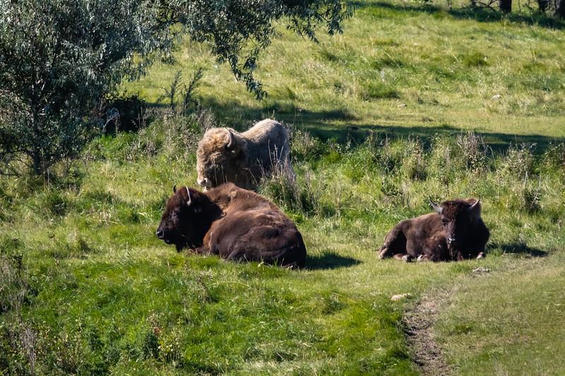 Buffalo, White & Brown