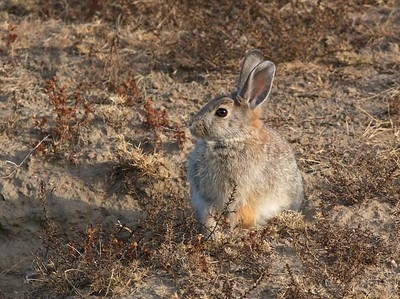 Cottontail Rabbit Teddy Roosevelt National Park ND IMG_0070048 CR2