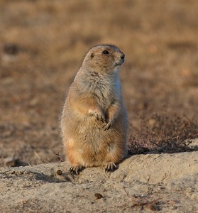 Black-tailed Prairie Dog Teddy Roosevelt National Park ND IMG_0070039