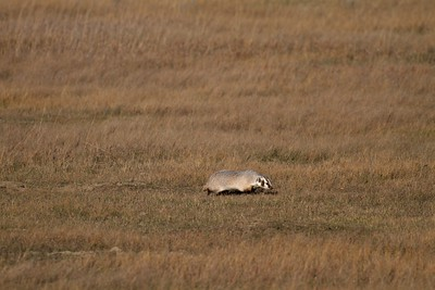 Badger Teddy Roosevelt National Park ND IMG_5543