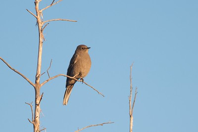 Townsend's Solitaire Teddy Roosevelt National Park ND IMG_4978