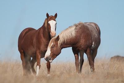 Wild Horses Teddy Roosevelt National Park ND IMG_5350
