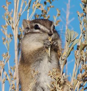 Least Chipmunk Teddy Roosevelt National Park ND IMG_5051