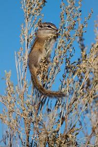Least Chipmunk Teddy Roosevelt National Park ND IMG_5059