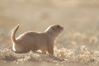 Black-tailed Prairie Dog Teddy Roosevelt National Park ND IMG_5179