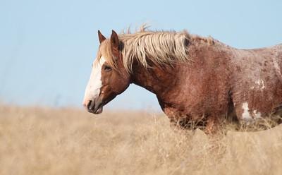 Wild Horses Teddy Roosevelt National Park ND IMG_5363
