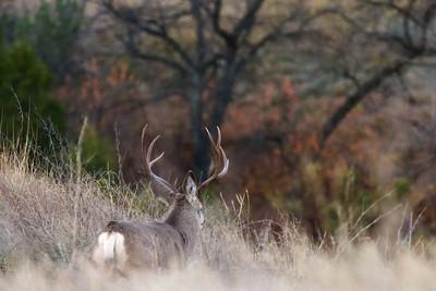 Mule Deer buck Teddy Roosevelt National Park ND IMG_4944