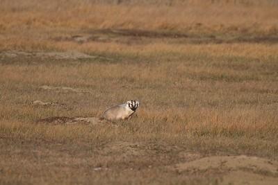 Badger Teddy Roosevelt National Park ND IMG_5553