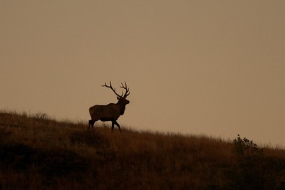 Elk bull Teddy Roosevelt National Park ND IMG_4935