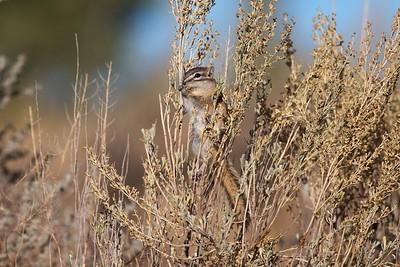 Least Chipmunk Teddy Roosevelt National Park ND IMG_5040