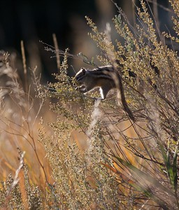 Least Chipmunk Teddy Roosevelt National Park ND IMG_5018