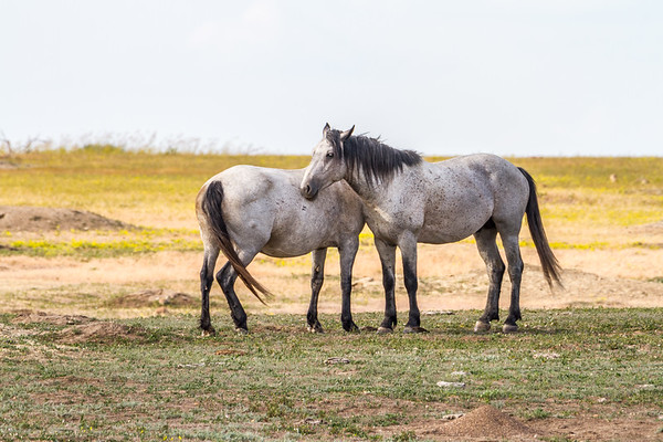 Horses in Theodore Roosevelt National Park