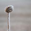 Cold Sunflower