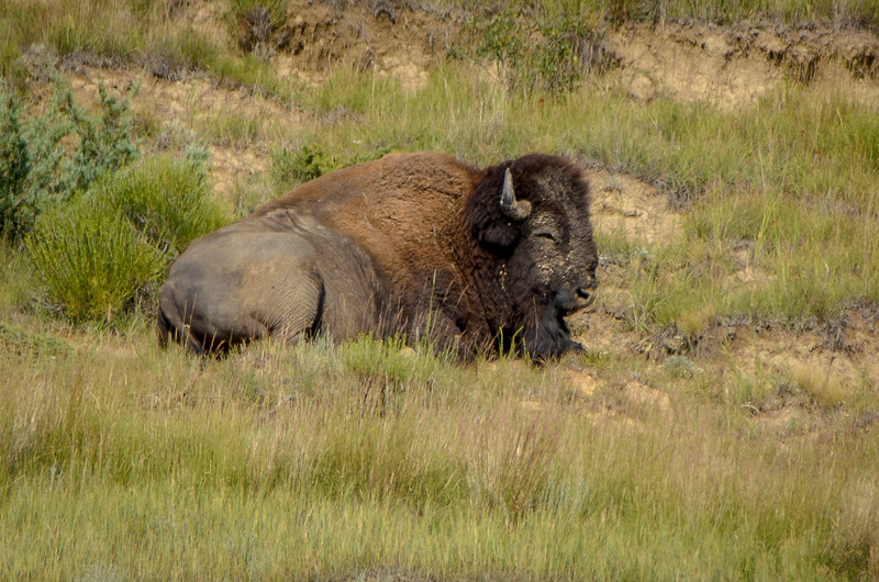 Bison Bull Relaxing on Hillside