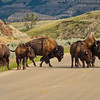 Bison Herd on Road