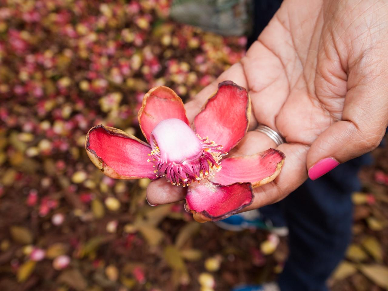 Kailashpati flower