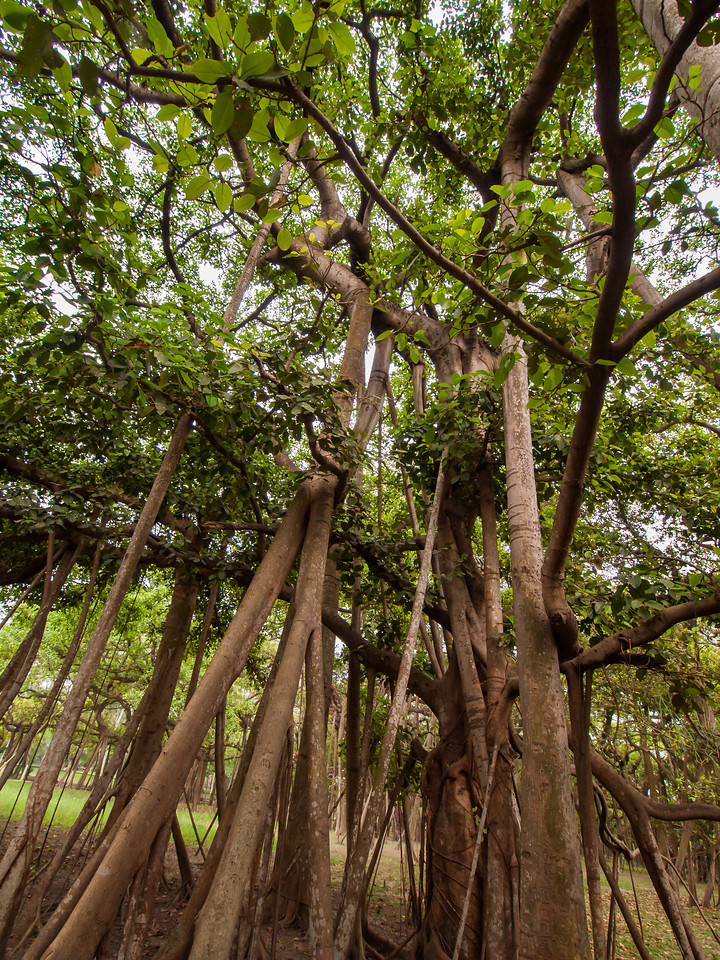The great banyan tree