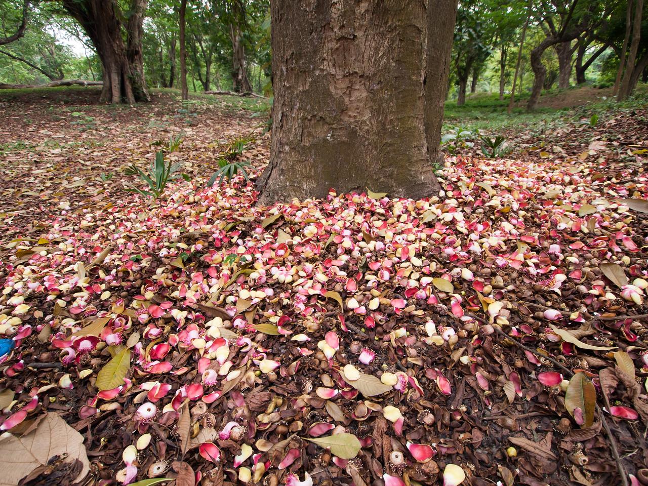 Cannonball tree (kailashpati)