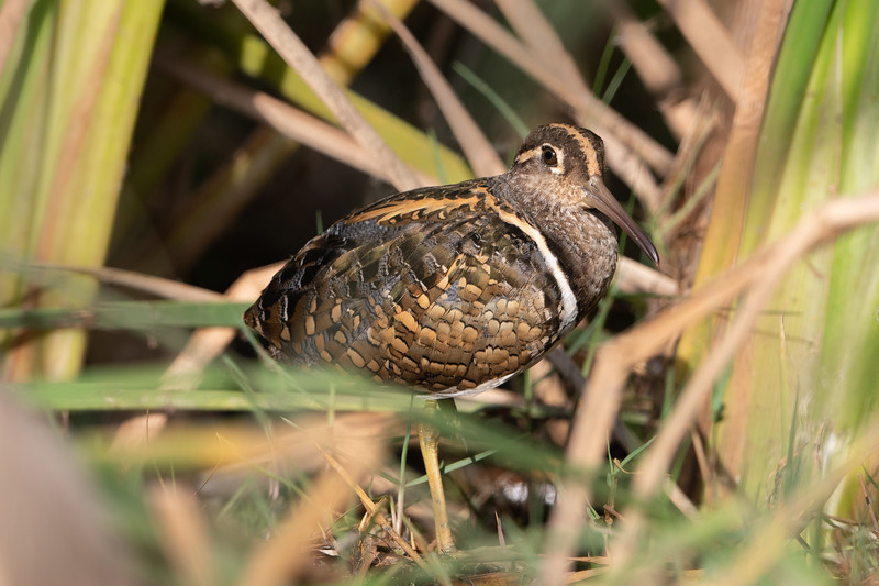 Greater Painted Snipe (f)