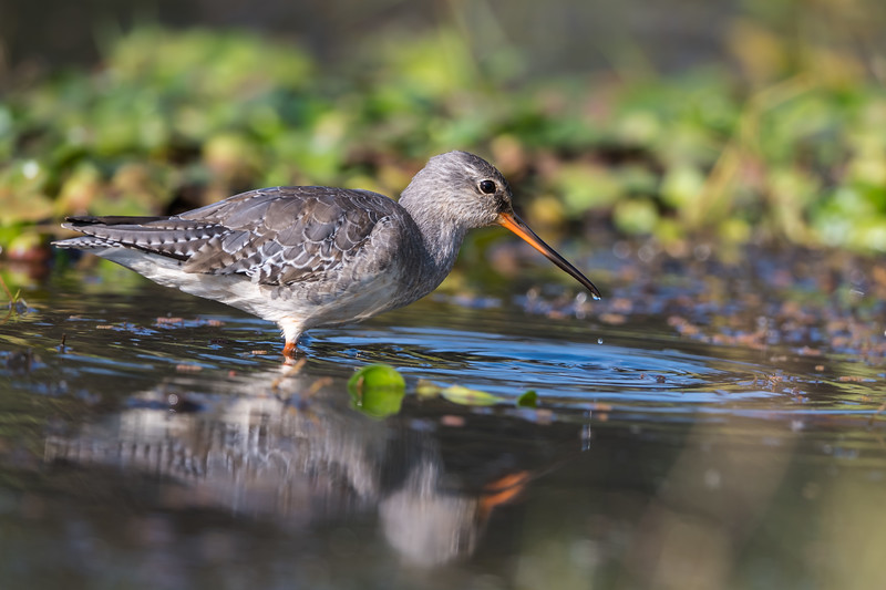 Spotted Redshank (nbr)