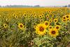 Sunflower Fields 10