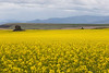 Canola Fields 74