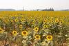 Sunflower Fields 12