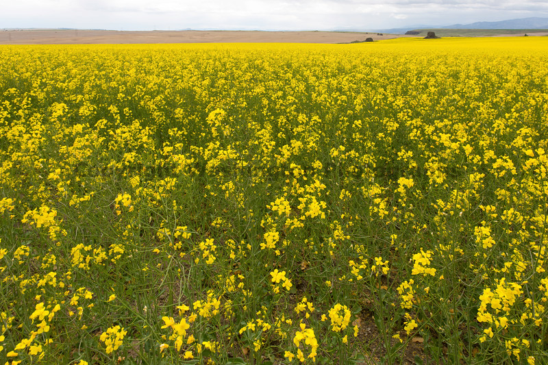 Canola Fields 72