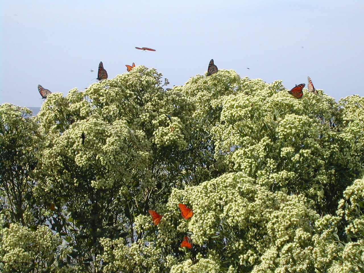Monarch migration at St. Marks NWR<br /> PHOTO CREDIT: Sandra Friend / Florida Trail Association