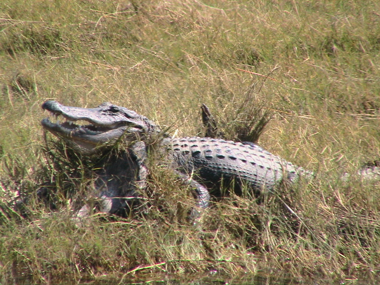A good scratch under the chin can make even a gator grin (St. Marks NWR)<br /> PHOTO BY Kate Taluga