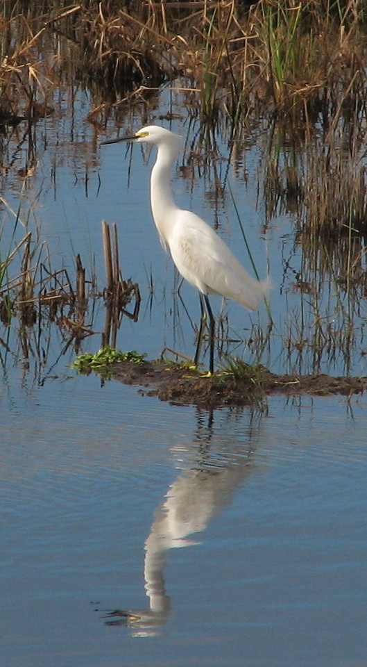 Egret at St. Marks<br /> PHOTO by Judd Goodlin