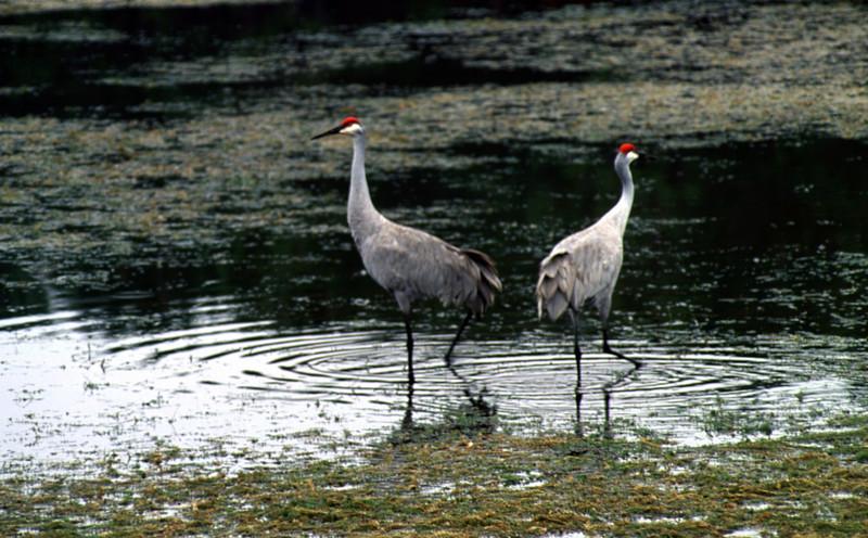 Sandhill cranes at Rodman<br /> photo credit: Bart Smith / Florida Trail Association