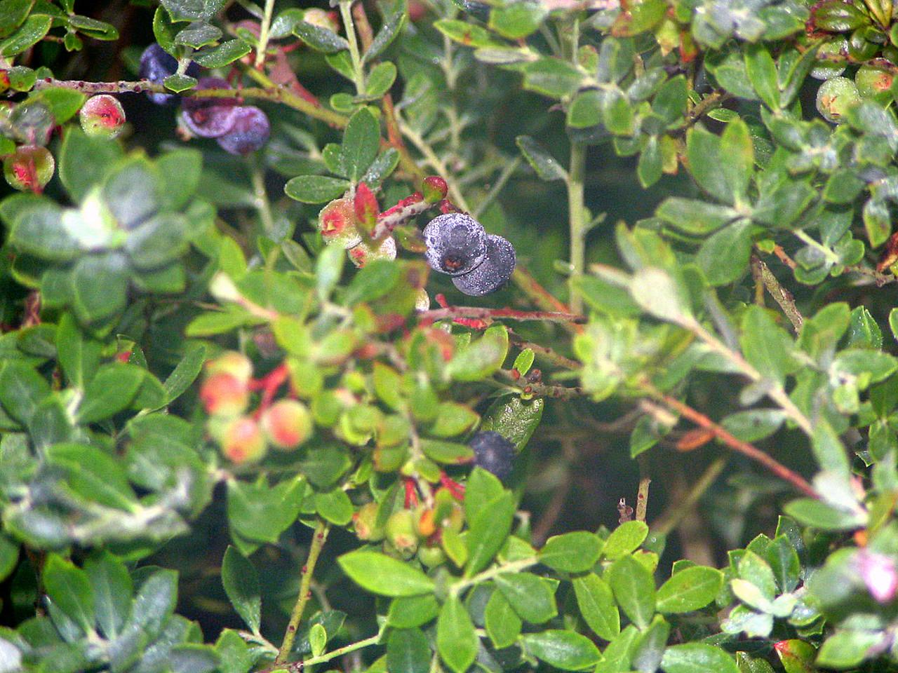 Fresh blueberries<br /> photo credit: Janette Davison / Florida Trail Association