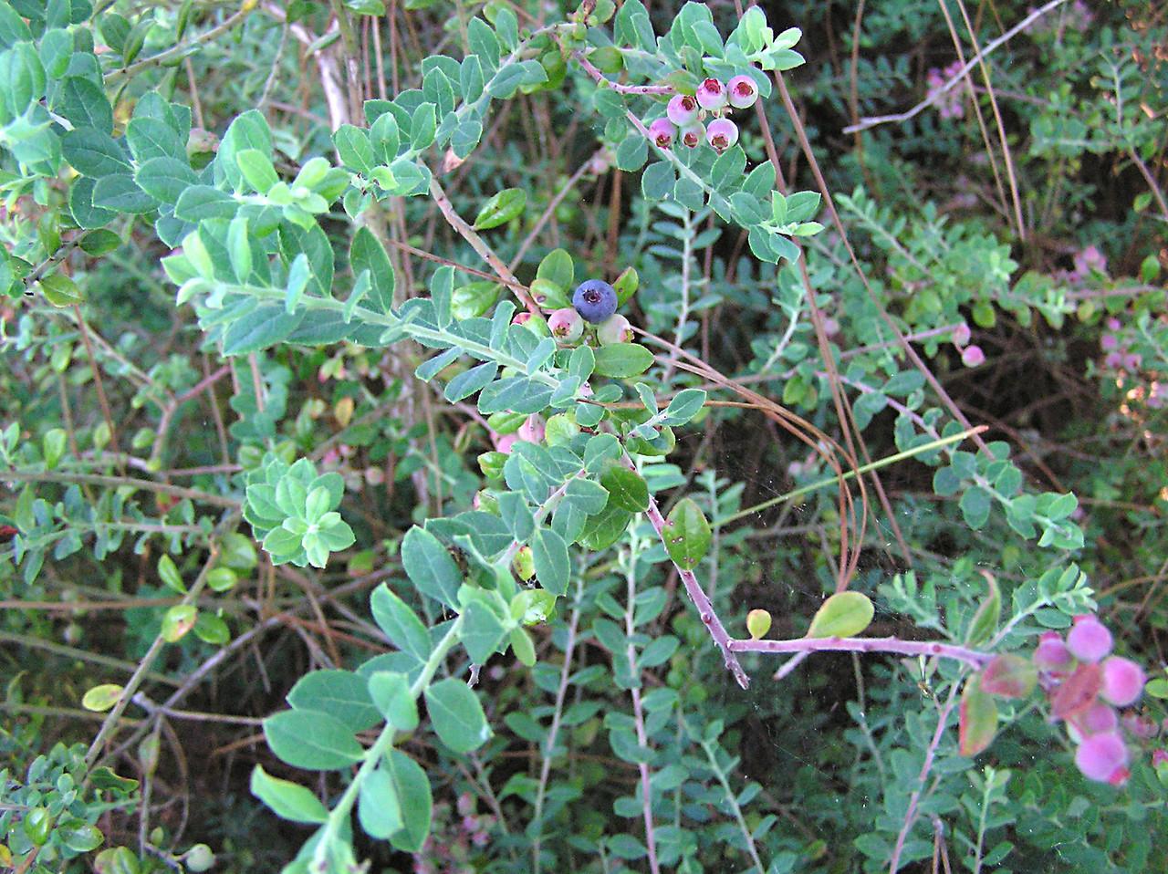 Blueberries<br /> photo credit: Jack Hailman / Florida Trail Association