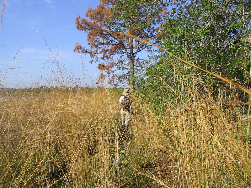 Hiking through the tall grass of Hopkins Prairie<br /> photo credit: Linda Benton / Florida Trail Association
