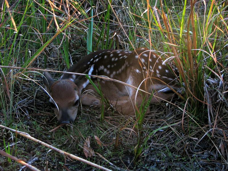 Fawn at Hopkins Prairie<br /> photo credit: Janette Davison / Florida Trail Association