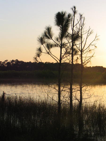 Pines silhoutted<br /> photo credit: Janette Davison/ Florida Trail Association