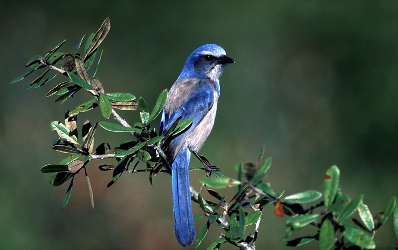 Florida scrub-jay<br /> photo credit: Bart Smith / Florida Trail Association