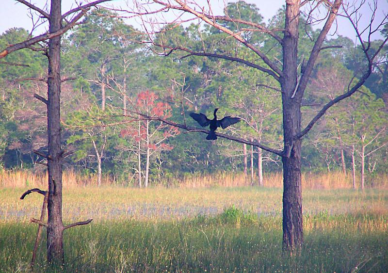 Anhinga wing-drying<br /> photo credit: Jack Hailman / Florida Trail Association