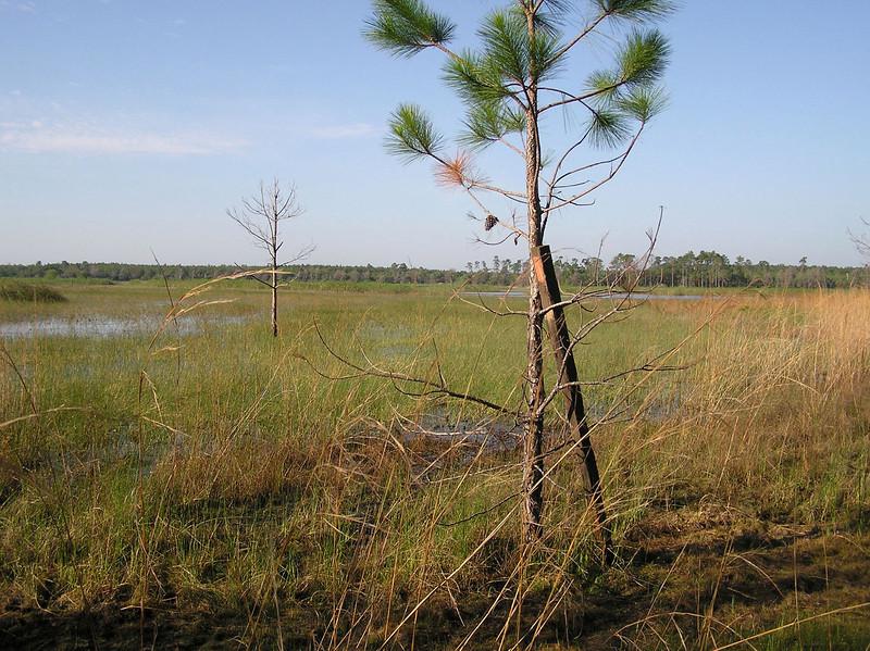 Hopkins Prairie<br /> photo credit: Jack Hailman / Florida Trail Association