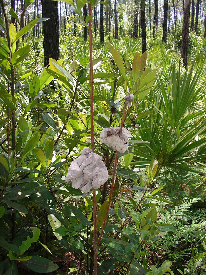 Insect galls<br /> Photo credit: Ian Brown / Florida Trail Association