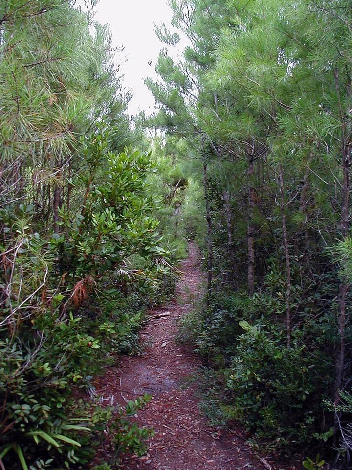 Corridor of scrub plants in the Juniper Prairie Wilderness<br /> photo credit: Deb Blick / Florida Trail Association