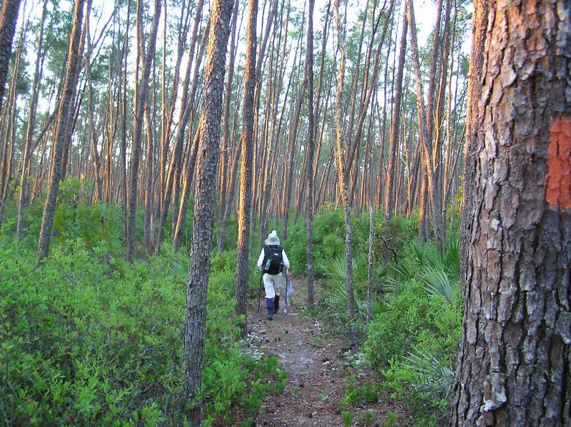 Dawn in sand pine <br /> photo credit: Jack Hailman / Florida Trail Association