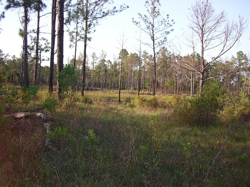 Wet flatwoods<br /> Photo credit: Ian Brown / Florida Trail Association