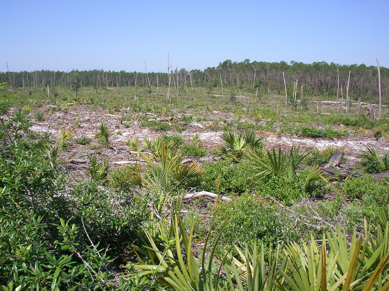 Area cleared after hurricanes. <br /> Photo credit: Ian Brown / Florida Trail Association