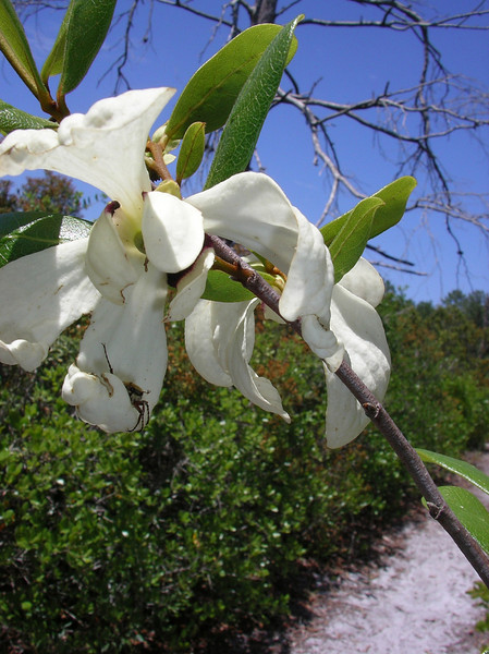 Pawpaw (Asimina reticulata)<br /> custard apple family<br /> Photo credit: Ian Brown / Florida Trail Association