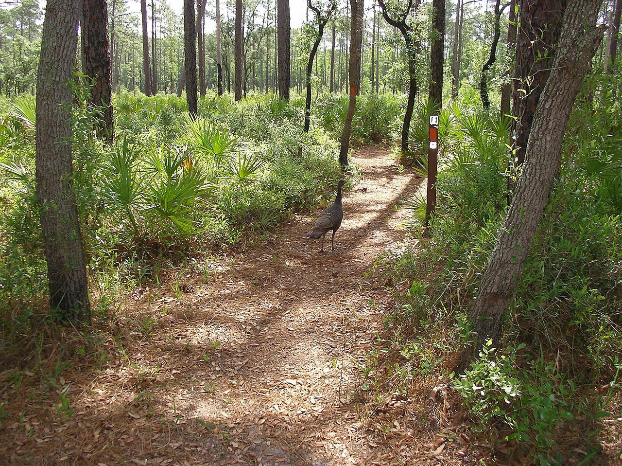 Wild Turkey (Meleagris gallopavo)<br /> Photo credit: Ian Brown / Florida Trail Association